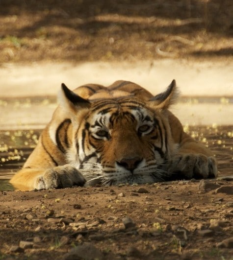 Debbie's photo from Ranthambore - copyright EIA