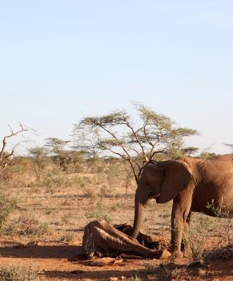 A live elephant with a dead elephant