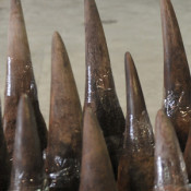 'No surprise' over huge rhino horn theft in South Africa