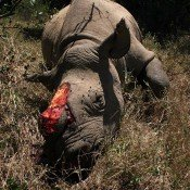 After ivory, a legal rhino horn trade will only cause harm