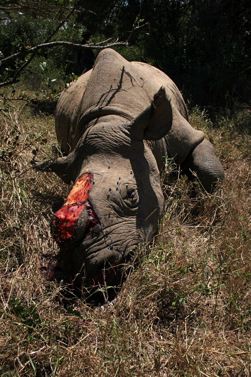 Rhino killed by poachers for its horn (c) EIA