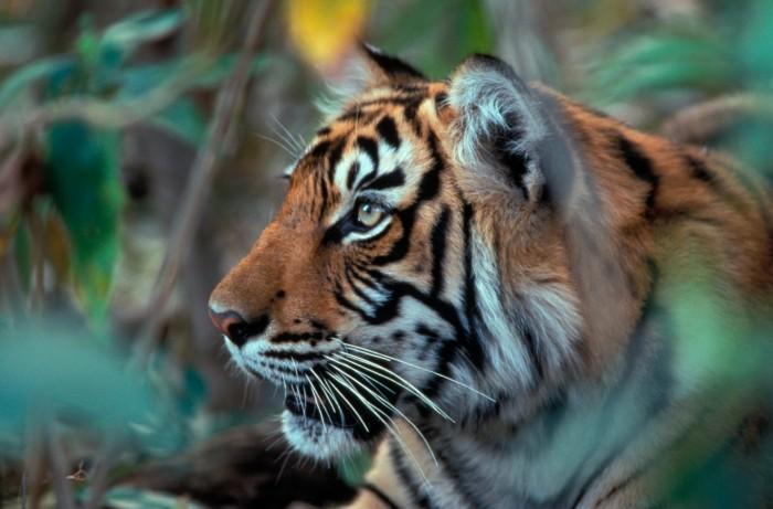 View of a tiger in the wild, India (c) Robin Hamilton