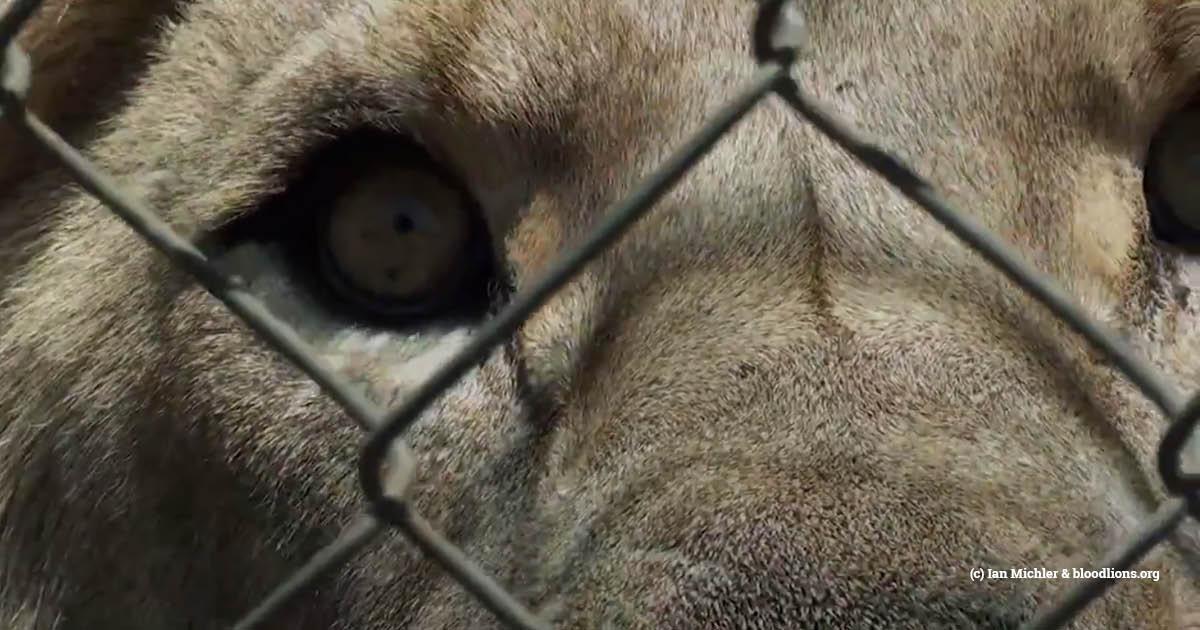 sa captive lion