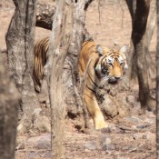 Threat to rare tigers' home as Indian minister visits UK