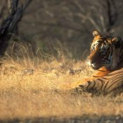 Tigers languish in the face of catastrophic ambivalence