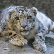The ongoing threat of snow leopard trade: Out in the cold