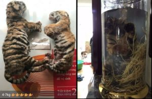 Dead tiger cubs offered for sale on WeChat by Vietnamese traders and, right, the end product, tiger cub wine
