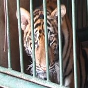 The scourge of tiger farming must be brought to an end
