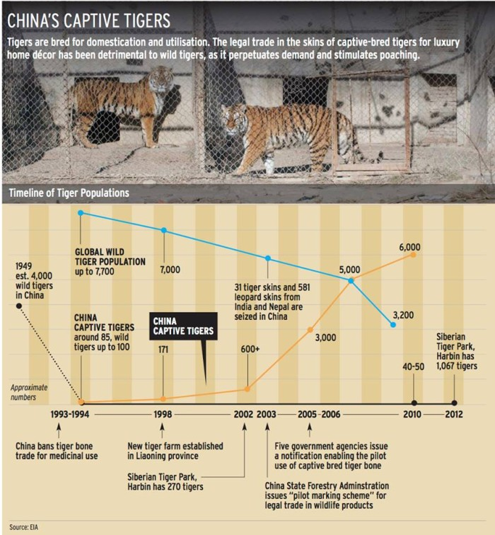 This infographic shows the rapid growth of captive-bred tigers in China has done nothing to support the recovery of wild tigers in that country; conversely, countries without tiger farms are seeing gradual recoveries (c) EIA