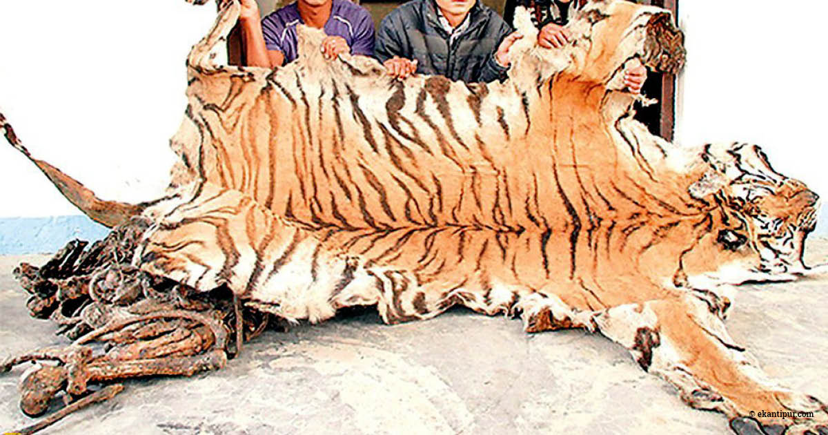 Tiger skin seized in Nepal, (c) http://kathmandupost.ekantipur.com