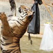 Call for Thai Government to revoke zoo licence for business behind notorious Tiger Temple