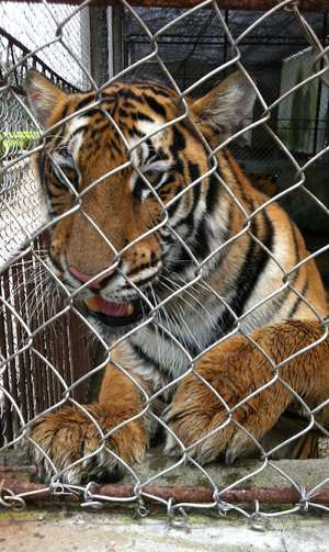 tiger-thank