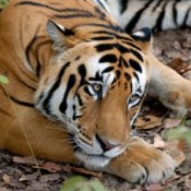 China Premier warned of tiger vow 'mockery'