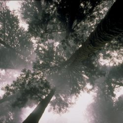 A look to the crown of trees from the ground