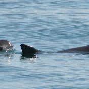 Ocean Week: Lessons in loss – illegal fish trade may have stolen the vaquita's future
