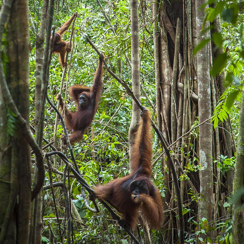 Orang-utans in a forest