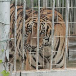 A tiger in captivity