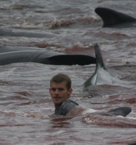 Faroe Islander in deep water as the pilot whales are herded to and stranded on the beach (via www.nordlysid.fo)