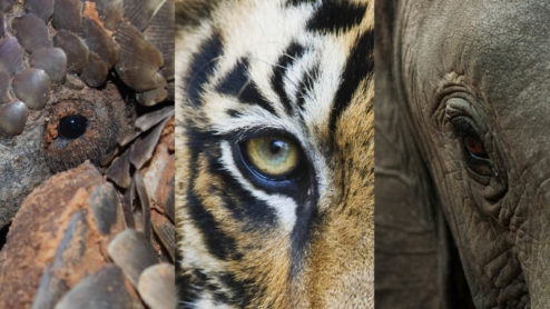 Banner for wildlife week with close up images of a pangolin, a tiger and an elephant